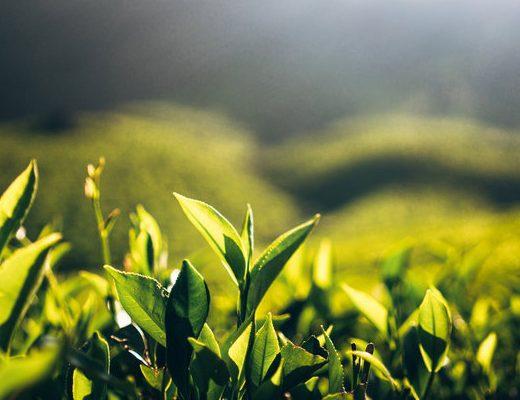 najlepsze Perfumy o Zapachu Zielonej Herbaty
